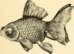 """Image from page 56 of """"Goldfish breeds and other aquarium fishes, their care and propagation : a guide to freshwater and marine aquaria, their fauna, flora and management. With 280 explanatory illustrations, printed with the text"""" (1908)"""