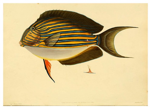 002-Acamthurus vittatus-A selection … the fishes …of Ceylon-1834 John B. Whitchurch