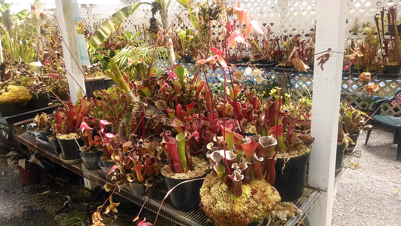 Heliamphora at California Carnivores.