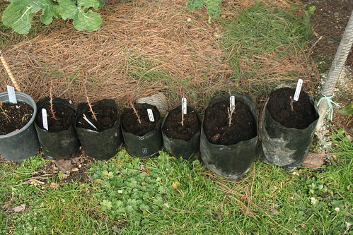 Gooseberry - 2014-07-08 - Cuttings