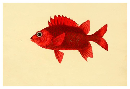 003- Holpcemtris Ruber-A selection … the fishes …of Ceylon-1834 John B. Whitchurch