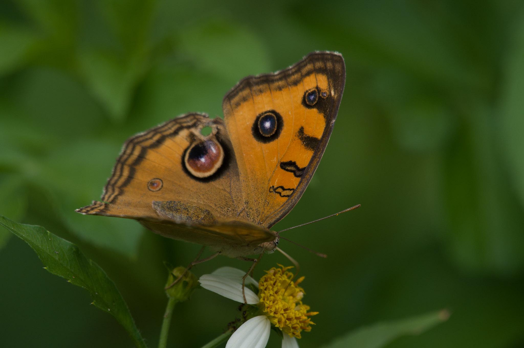孔雀紋蛺蝶