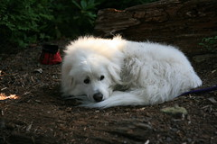 dog breed, animal, dog, maremma sheepdog, coton de tulear, mammal, great pyrenees,