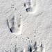 Kingpenguin Footsteps