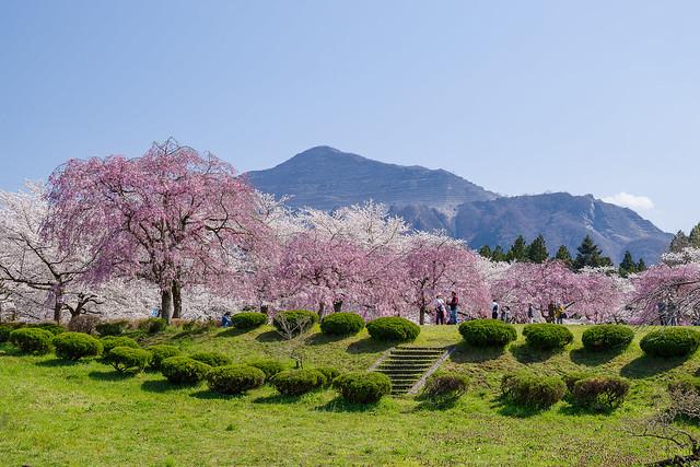 ボリューム満点の桜越しに武甲山@羊山公園