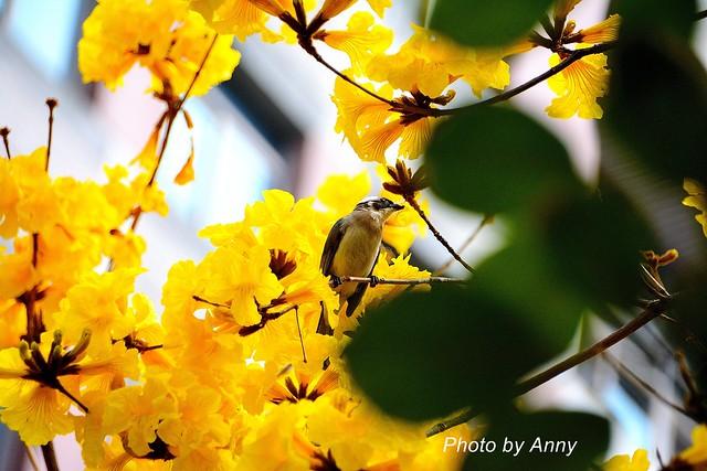 黃風鈴木29