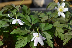 ANEMONE nemorosa 'Dark Leaf'