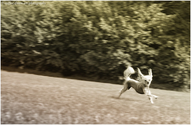 Chicca, the flying dog