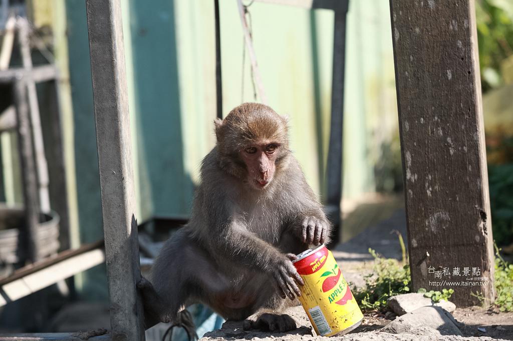 台灣獼猴 (28)