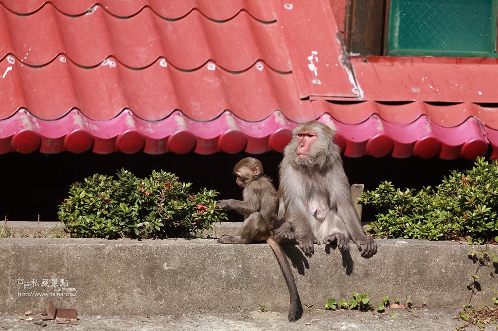 台灣獼猴 (17)