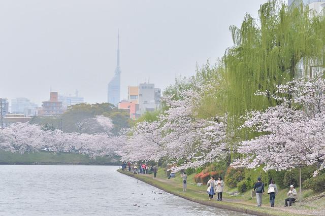 福岡タワーと桜