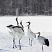 Japanese Cranes (Dani Free)