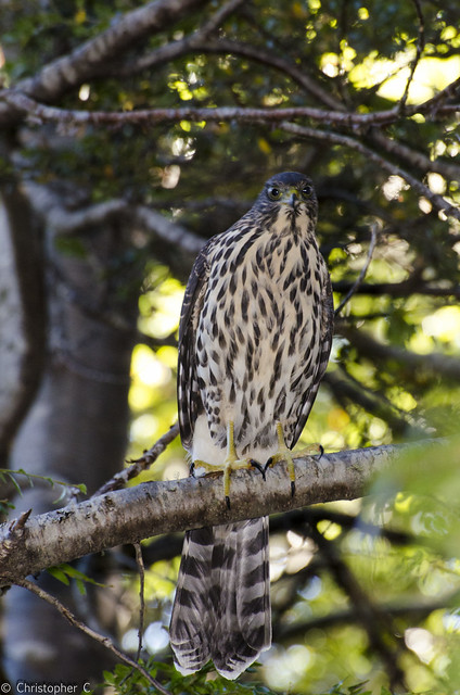 Header of Accipiter chilensis