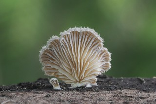 Bracket fungi, Schizophyllum commune, (under side), Hamilton Gardens, Waikato, New Zealand