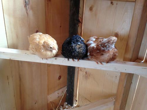 chicks_coop8