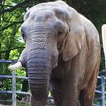 Zoo Wuppertal, Elefant, CK