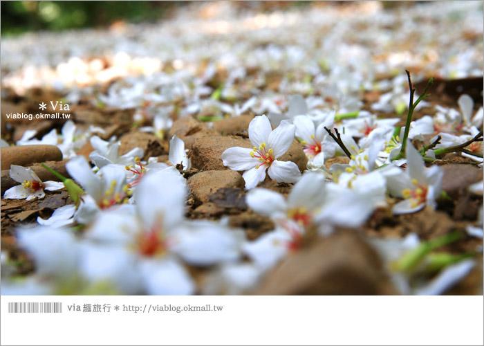 【彰化油桐花】福田桐花生態園區~雪白花毯!每年都會想再回訪的賞桐景點11