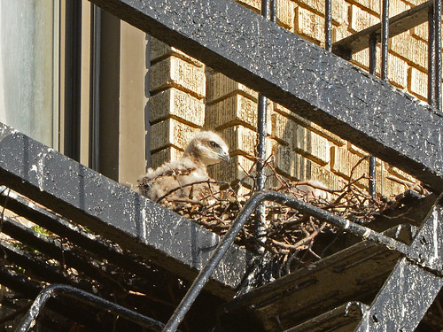 JHW Hawk Nestling (9826)