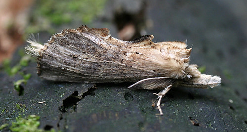 Pale Prominent Pterostoma palpina Tophill Low NR, East Yorkshire May 2014