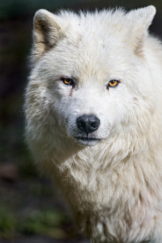 Cute polar wolf portrait