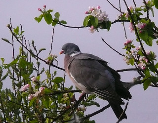 Woodpigeon in Apple tree