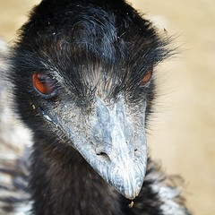 emu, animal, flightless bird, fauna, close-up, casuariiformes, beak, bird, ratite, wildlife,