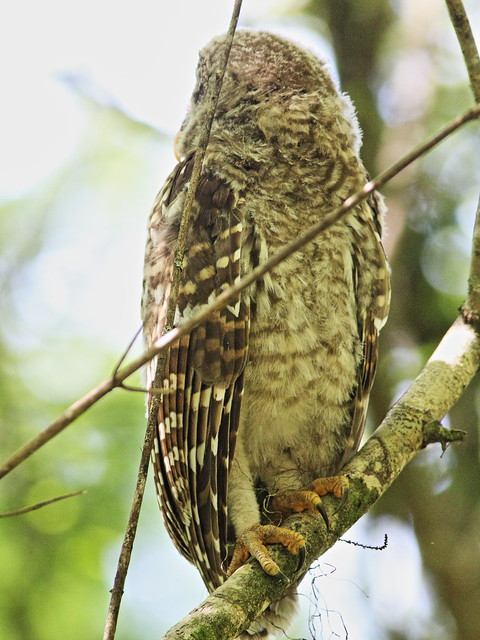 Barred Owl foot 20140421