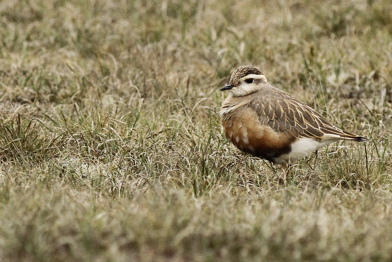 Dotterel, Winterton, 7/5/14