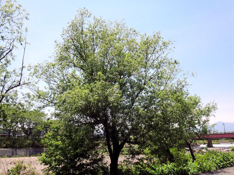 14511a1141綿毛を飛ばしているヤナギの木