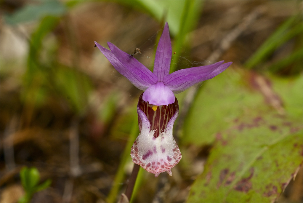 Fairy Slipper, Calypso orchid