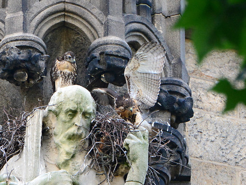 Cathedral Hawk Nestlings (1611)