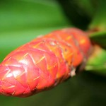 Young inflorescence of Heliconia aemygdiana BURLE-MARX, another plant in our Peru study.