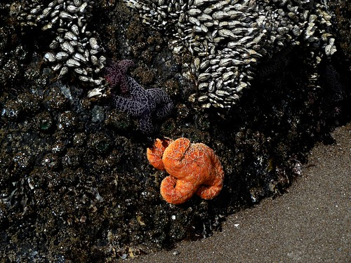 Barnacles, sea stars and anenomes