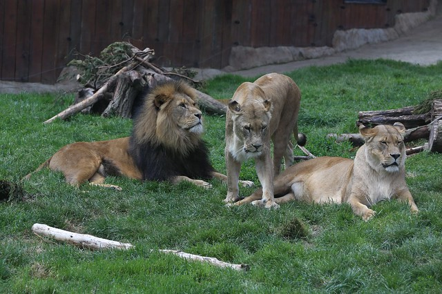Header of African Lions