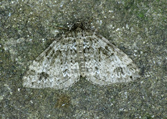 1809 Twin-spot Carpet - Perizoma didymata