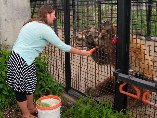 Feeding a grizzly bear at BC Wildlife Park