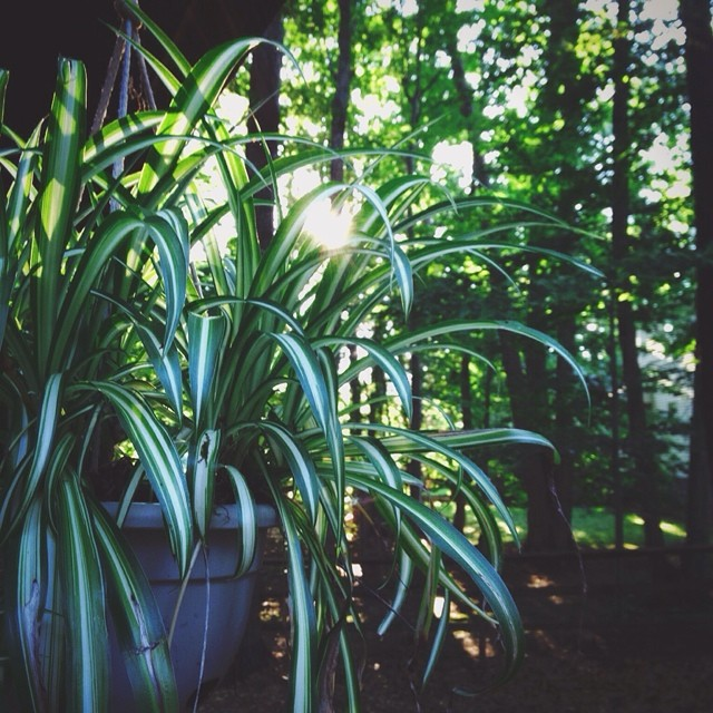 iphone spider plant