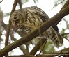 Barred Owl transfers hatchling to beak