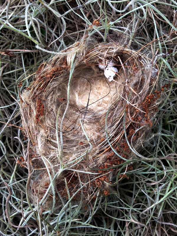 nest in Spanish moss