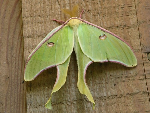 The luna month (Actiasl luna) have pale green wings with long curving tails and a wing span of roughly 3 to 4 inches. They are strong fliers with an attraction to light and can been seen, depending on the area of the country, between May and September. (National Park Service)
