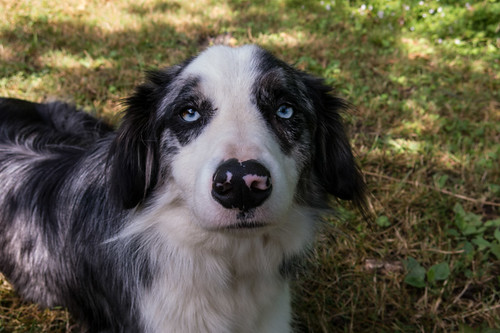 Bleu, the blue merle border collie
