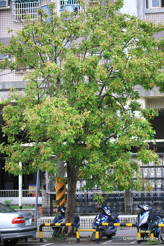 家門前的龍眼樹