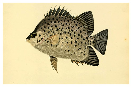 010- Chaetodon Atro-Maculatus-A selection … the fishes …of Ceylon-1834 John B. Whitchurch