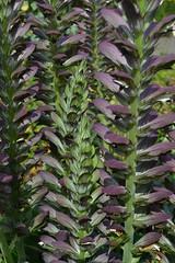 ACANTHUS mollis free-flowering