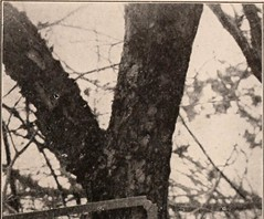"""Image from page 292 of """"Handbook of the trees of the northern states and Canada east of the Rocky mountains. Photo-descriptive"""" (1907)"""