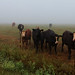 Cows In The Fog by siskokid
