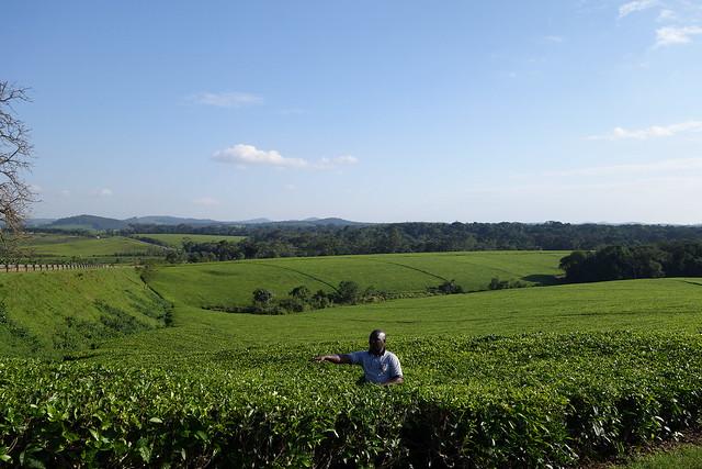 140623 Tea Fields (5)