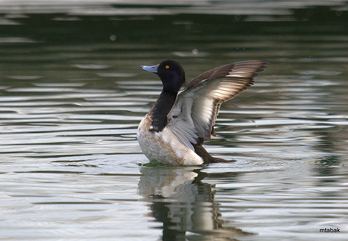 Tufted Duck wing flap