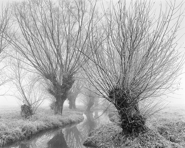Willows by the stream