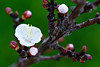 Fiori Rosa Fiori di Pesco - explore #106